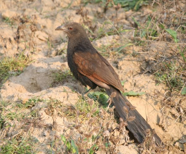 71. Greater Coucal