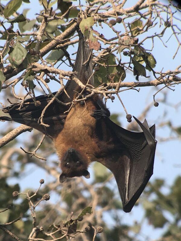 Fruit Bat ~ Flying Fox