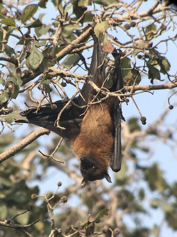 Fruit Bat ~ Flying Fox