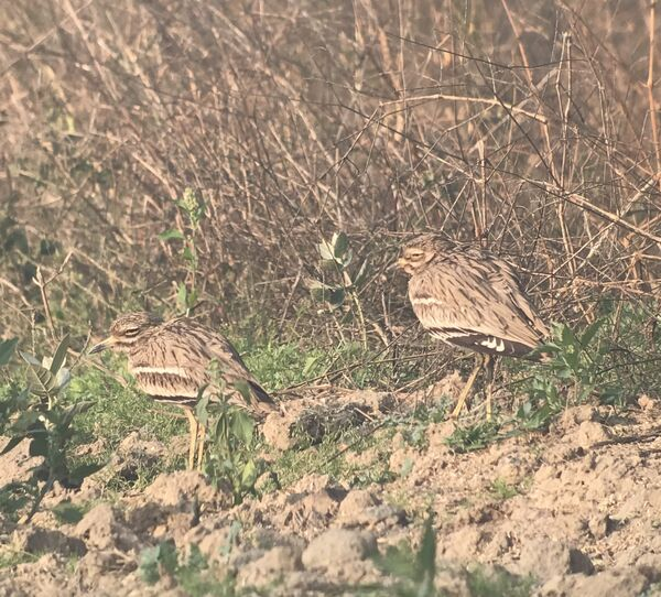 Indian Stonecurlew