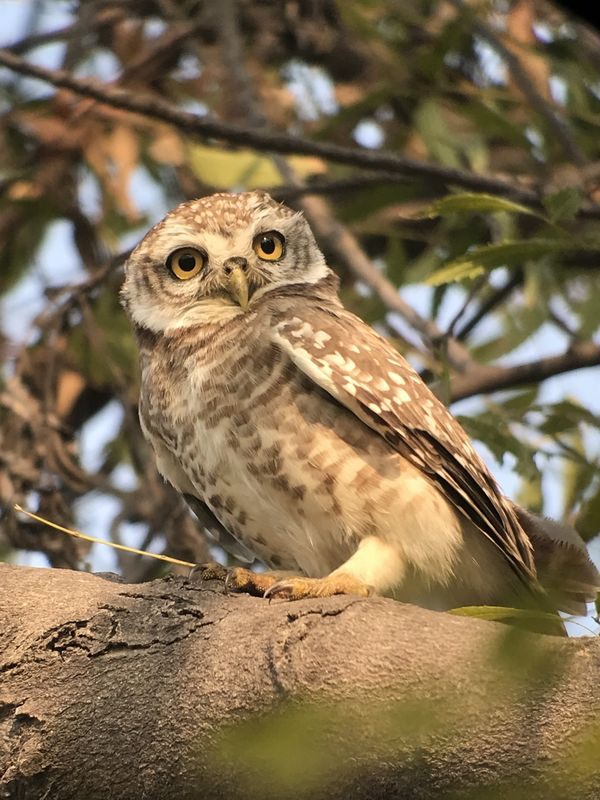 84. Spotted Owlet