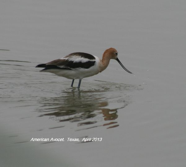American  Avocet, we saw many of these lovely birds