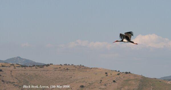Black Stork ~ May 2008