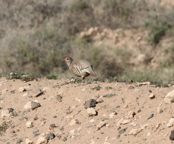Barbary Partridge 1