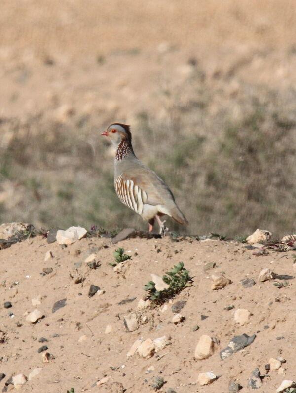 Barbary Partridge 5