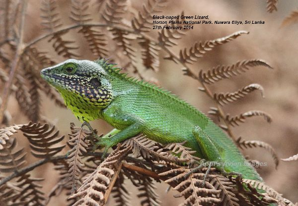Black-naped Green Lizard.  One of the first creatures we encountered at Horton Plains National Park