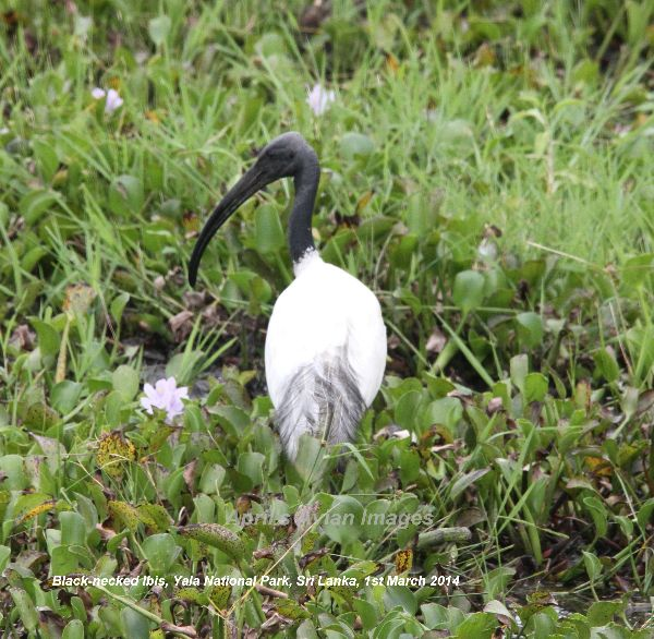 Black-necked Ibis.  There are many types of Ibis, this is the first Black-necked we have seen