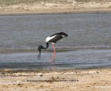 Black-necked Stork.  Very rare, we were extremely lucky to see this bird.