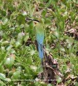 Blue-tailed Bee-eater.  Yala National Park.