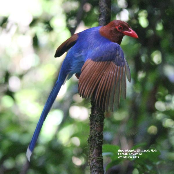 Blue Magpie. Amazing colours, amazing birds, great photo opportunities. Sinharaja Rain Forest