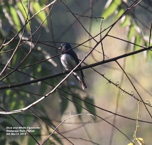 Blue & White Flycatcher. Great excitement at the Rain Forest HQ.  This bird had been present for five days, it was the first sighting in Sri Lanka, and is also known as the Japanese Flycatcher.  It breeds in Japan, Korea, China and Russia.  Winters in SE Asia.