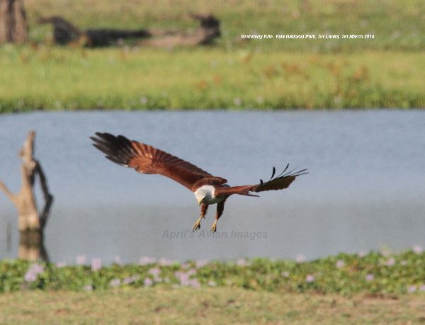 Brahminy Kite.  Excellent birds, this one was in Yala National Park.