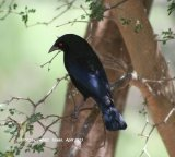 Bronze Cowbird, such a great sheen on this Cowbird, even in shade