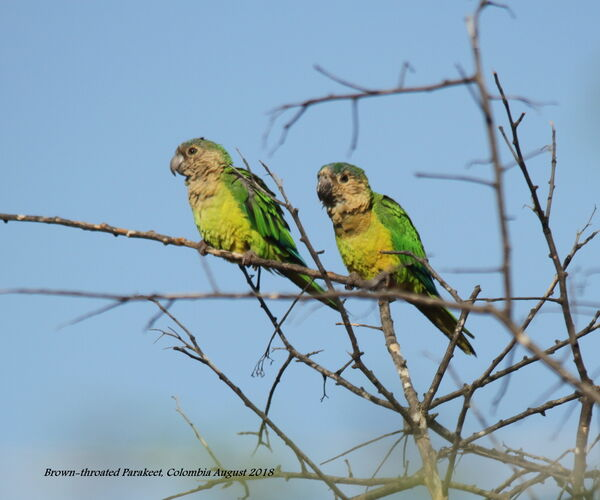 Brown-throated Parakeet 3