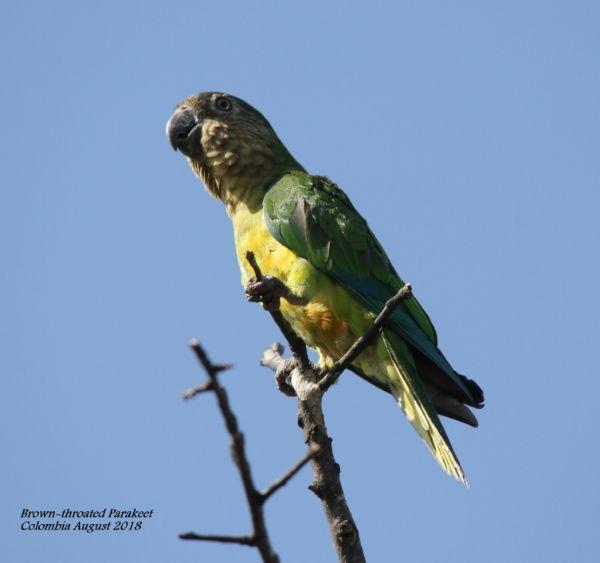 Brown-throated Parakeet 4