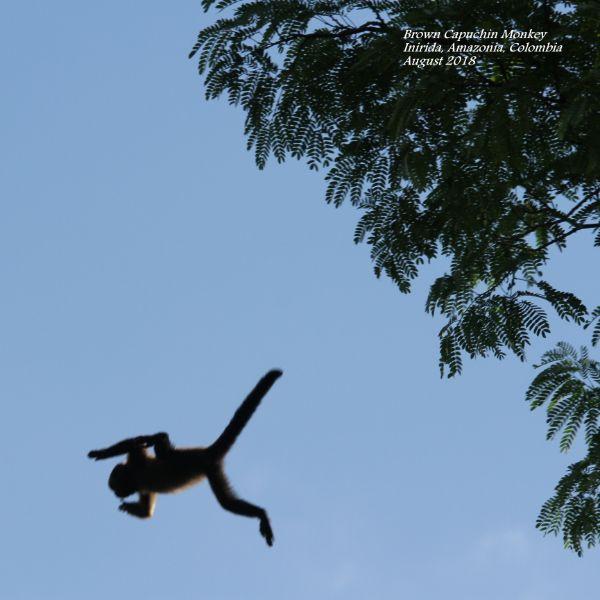 Brown Capuchin 1