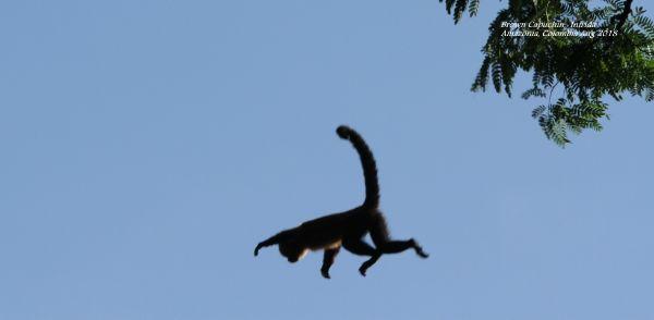 Brown Capuchin 2
