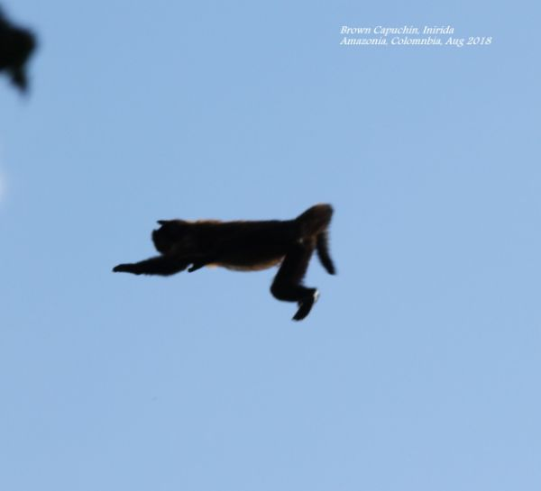 Brown Capuchin 4