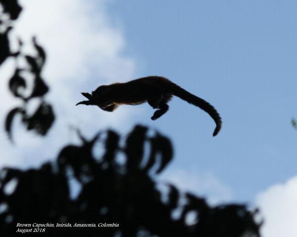 Brown Capuchin 5