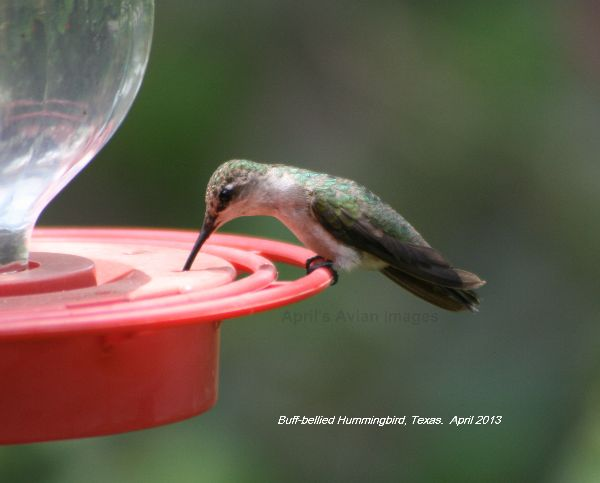 Buff-breasted Hummingbird, I was so pleased to be able to get some half decent photos of  Hummingbirds