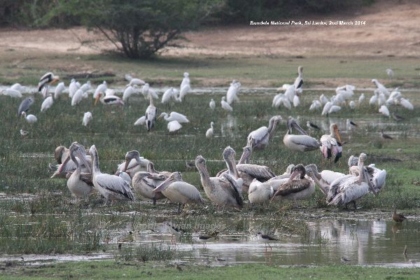 Hundreds of waders at Bundala National Park. Herons, Egrets, Storks and Pelicans