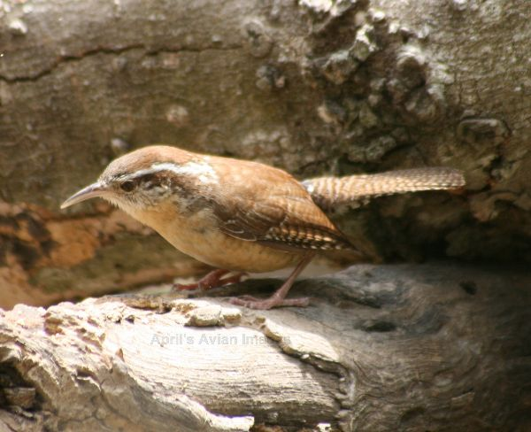 Carolina Wren, difficult to photograph, but again a terrific song.