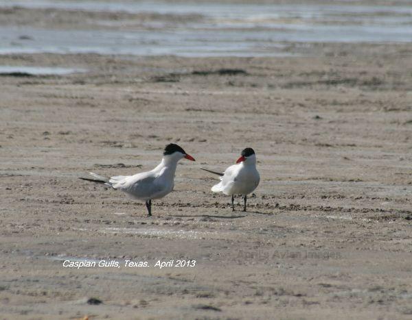Caspian Terns - not Caspian Gulls !!!!!!