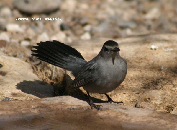 Catbird at the watering hole