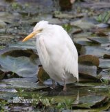 Cattle Egret.  These need no introduction they are everywhere and are also very often seen in the UK and Europe.