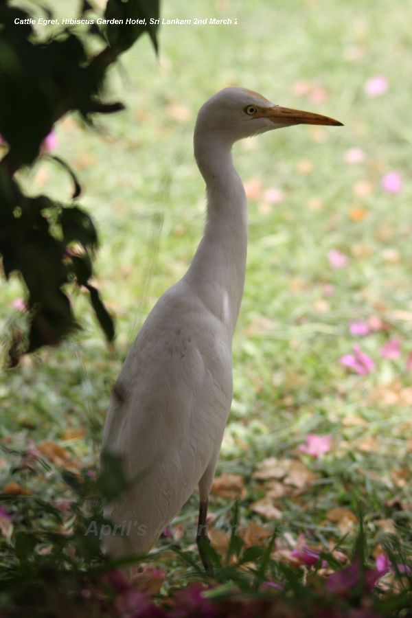Cattle Egret, another Hibiscus Garden resident