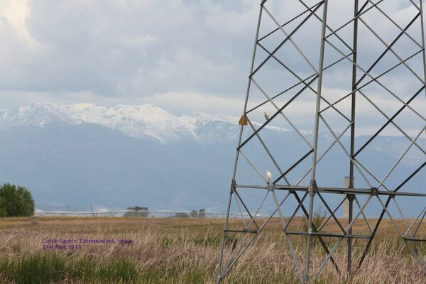 Cattle Egret & Sierra de Gredos Mountains