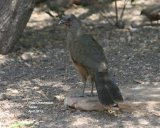 Chachalaca,  Noisy birds with character !!