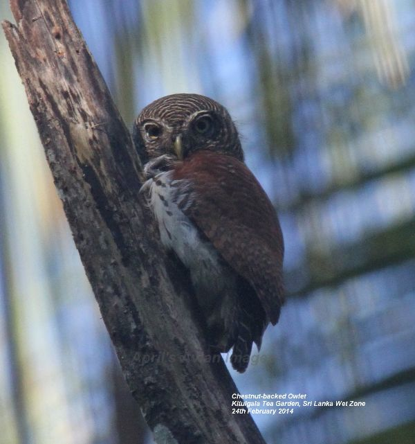 Chestnut-backed Owlet, endemic to Sri Lanka, and apparently one of the hardest endemics to see, but we were very lucky and had wonderful views in the Kitulgala Tea Garden.