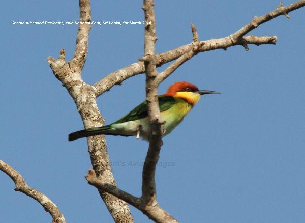 Chestnut-headed Bee-eater.  Yala National Park
