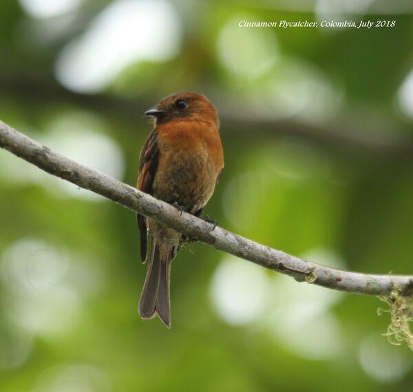 Cinnamon Flycatcher