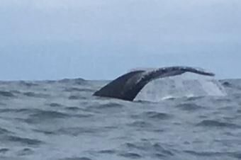 Humpback Whale, Southern Pacific Ocean