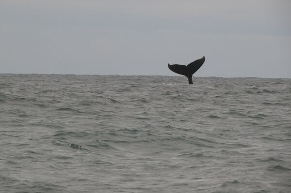 Humpback Whales, Southern Pacific Ocean