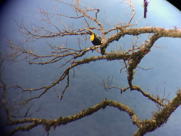Citreon-throated Toucan