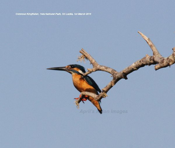 Common Kingfisher.  This is the Kingfisher we have here in the UK, it was odd to see it in Sri Lanka.