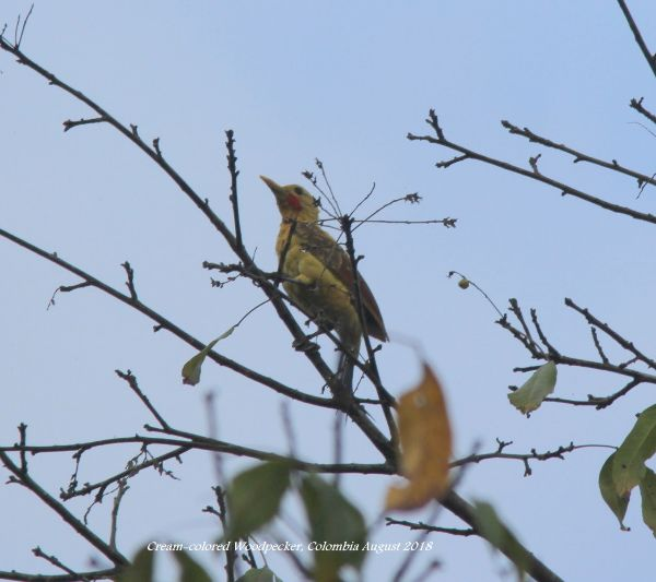 Cream-colored Woodpecker 1
