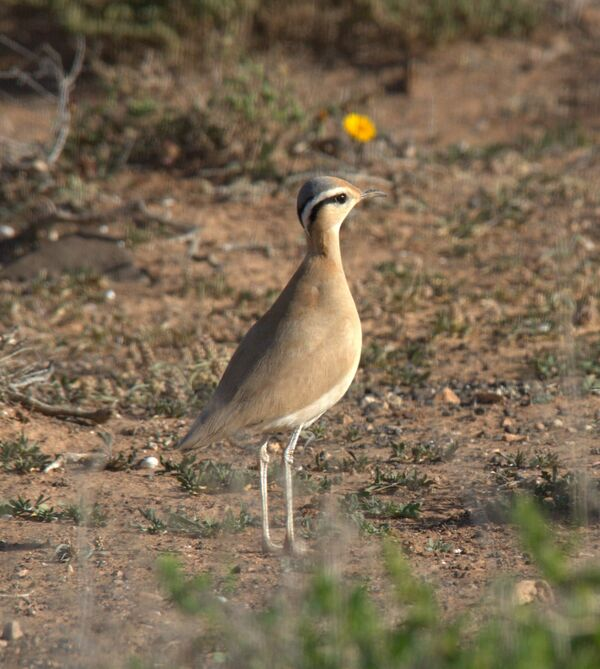 Cream-coloured Courser 1