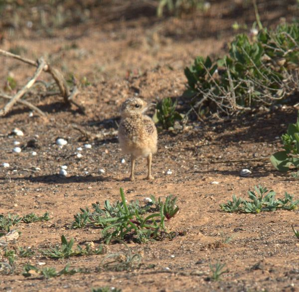 Cream-coloured Courser 3