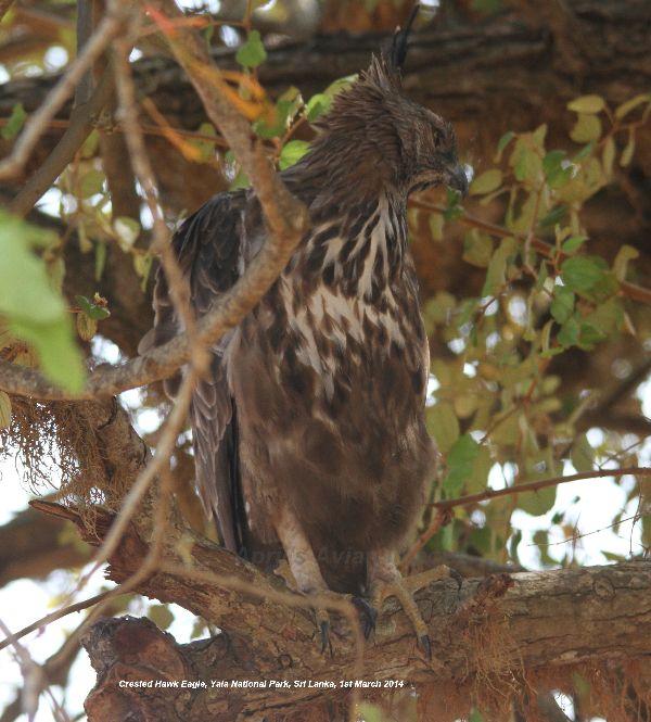 Crested Hawk Eagle.  Yala National Park.