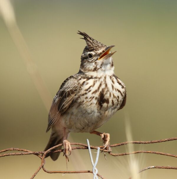 Crested Lark ~ May 2018