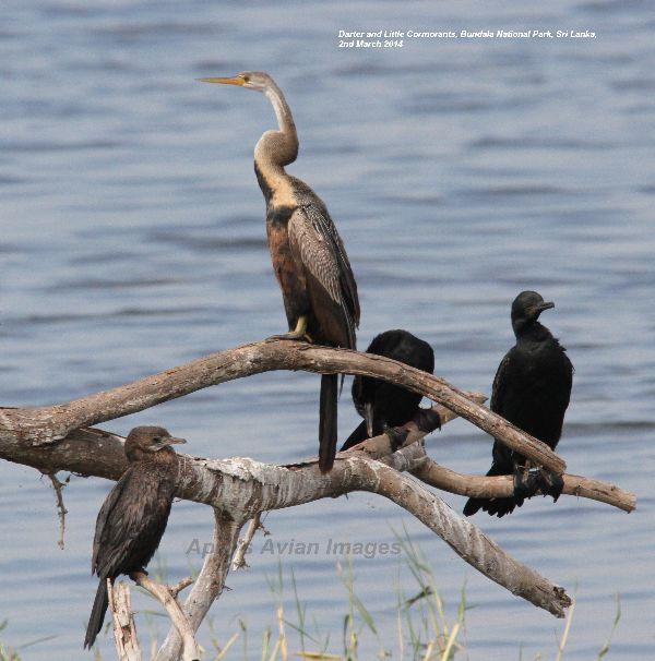 Darter & Little Cormorants