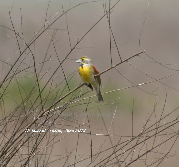 Dickcissel, beautiful birds, but only seen distantly
