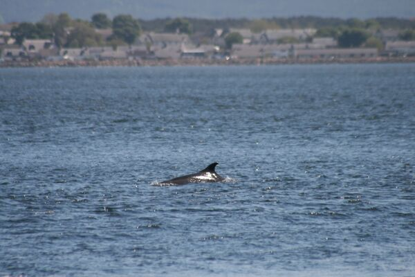 Dolphins at Chanonry Point, Black Isle