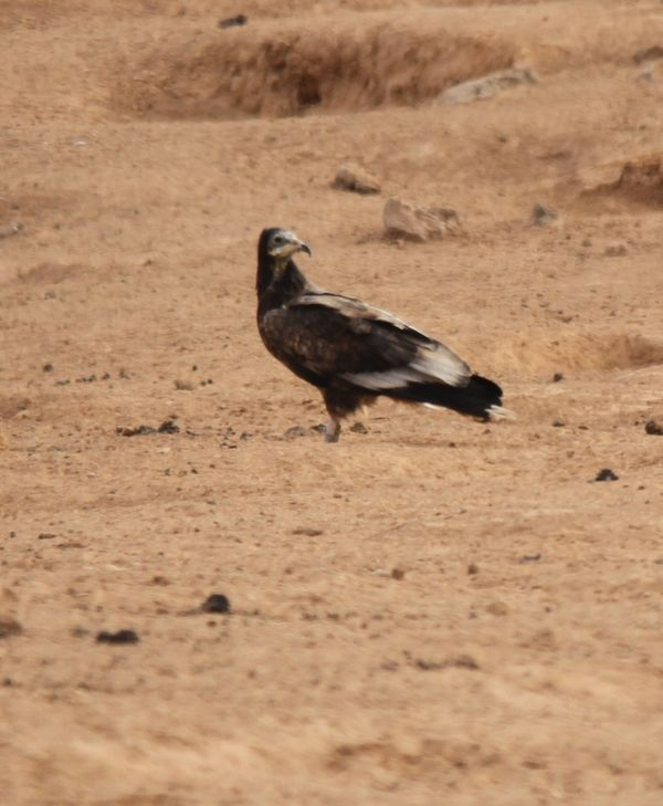 Egyptian Vulture 5