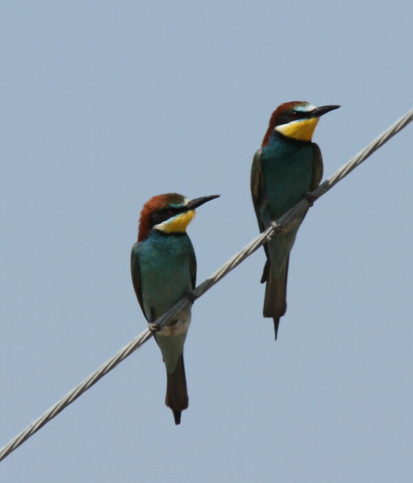 European Bee-eater ~ May 2018