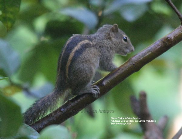 Flame Striped Palm Squirrel.  Tiny squirrel in the Kitulgala Tea Garden.